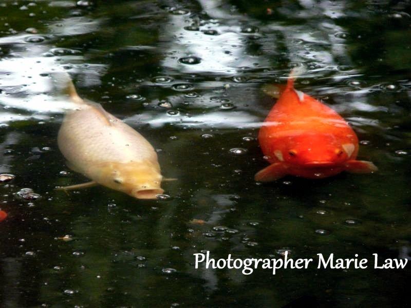 Animal photography koi carp fish in pond image for Virtual koi fish pond